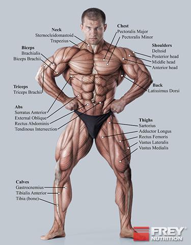 Zmogaus raumenys ir ju funkcijos